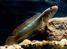 Gambar Ikan Gabus Terbagus