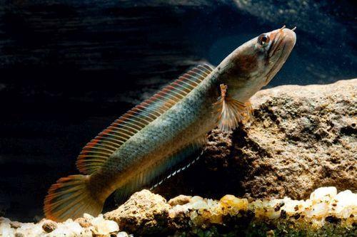 21 Jenis Ikan Channa Snakehead Dengan Habitat Dan Gambarnya Gerava Ikan Hias Burung Kicau Kucing Anjing