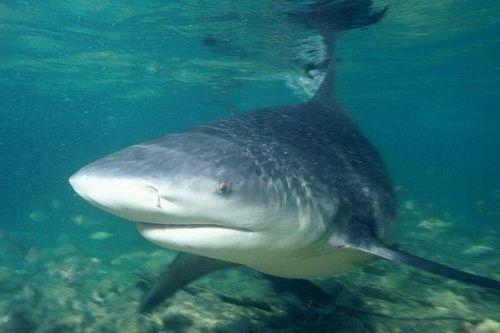 Gambar Ikan Hiu Banteng