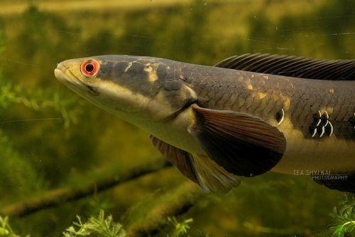 Gambar Ikan Maru
