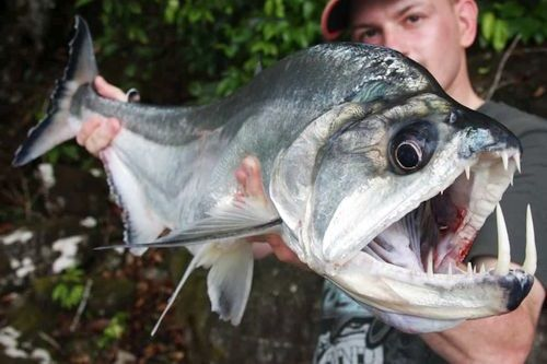 Gambar Ikan Payara Vampire Fish