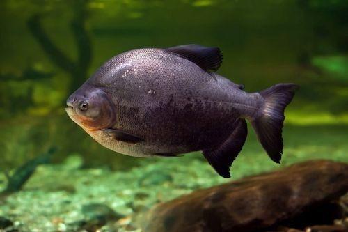 Gambar Ikan Tambaqui