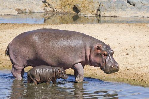 Gambar Kuda Nil dan Anaknya