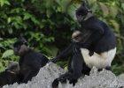 Gambar Monyet Afrika Asia Langka