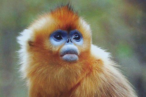 Gambar Monyet Berhidung Pesek Emas