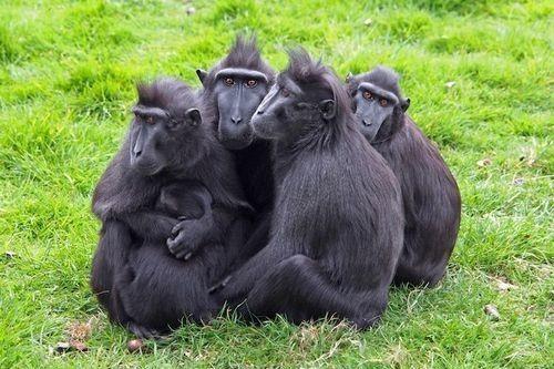 Gambar Monyet Berjambul Sulawesi