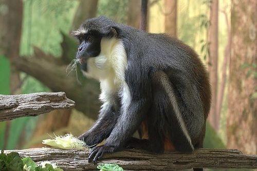 Gambar Monyet Dryas