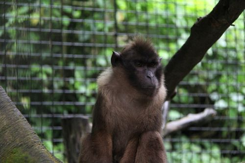 Gambar Monyet Pulau Pagai