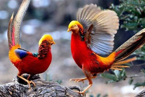 Gambar Pheasant China