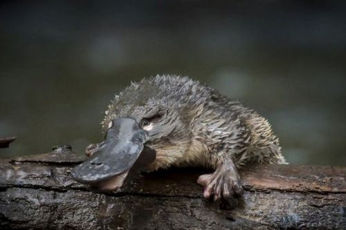 Gambar Platypus