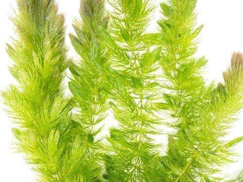 Gambar Tanaman Air Hornwort