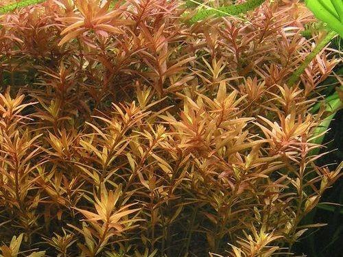 Gambar Tanaman Air Rotala rotundifolia