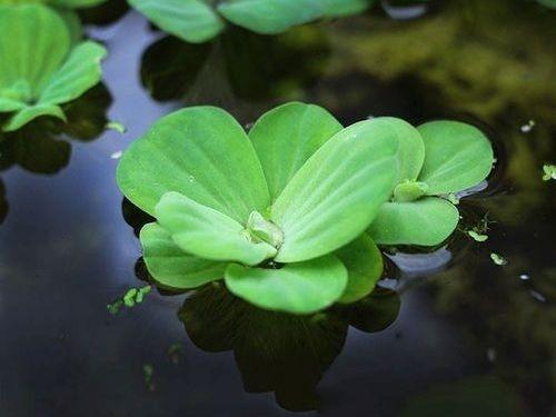Gambar Tanaman Air Water Lettuce