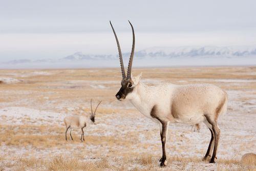Gambar antelop Tibet