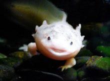 Gambar axolotl di akuarium1