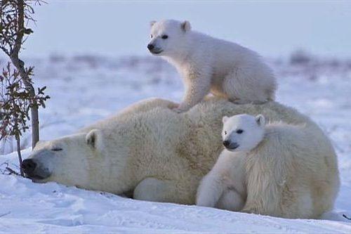 Gambar beruang kutub dan anaknya