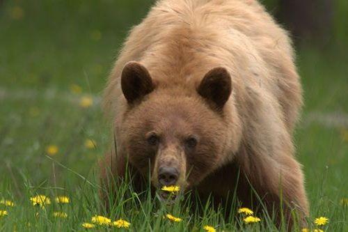 Gambar beruang makan tanaman