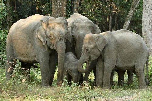 Gambar gajah Asia