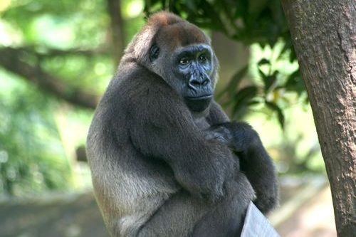 Gambar gorila cross river