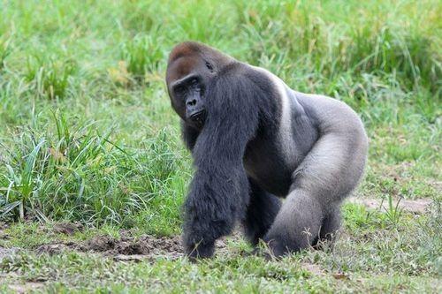 Gambar gorila dataran rendah barat