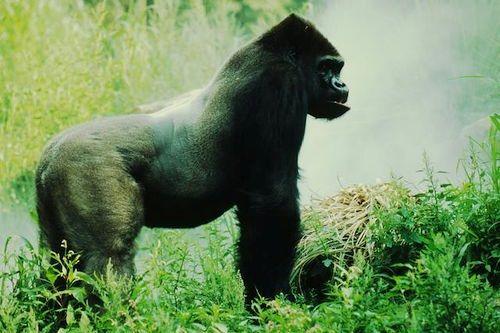 Eastern lowland or Grauer's gorilla (Gorilla beringei graueri)