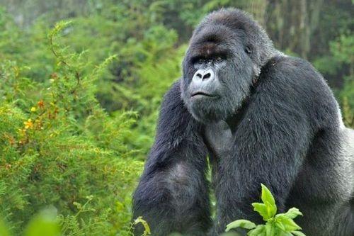Gambar gorila pegunungan