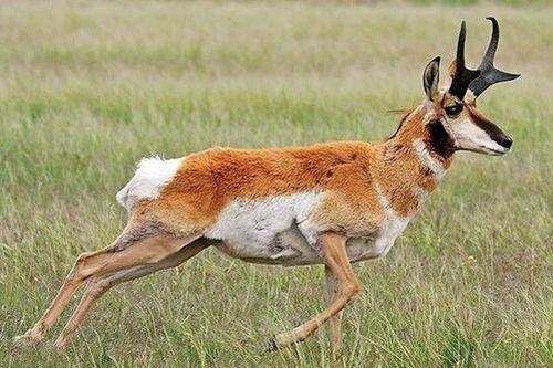 Gambar hewan pronghorn