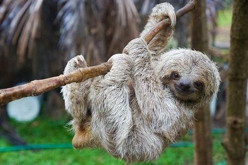 Gambar hewan sloth