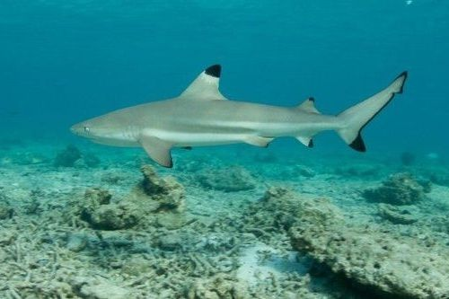 Gambar hiu Blacktip Reef Shark