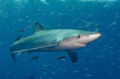 Gambar hiu Blue Shark