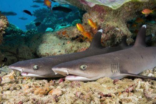 Gambar hiu Bluegrey Carpetshark