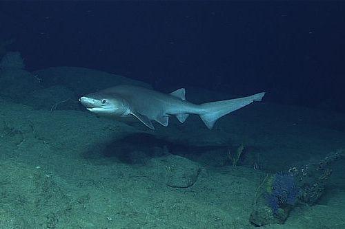 Gambar hiu Bluntnose Sixgill Shark