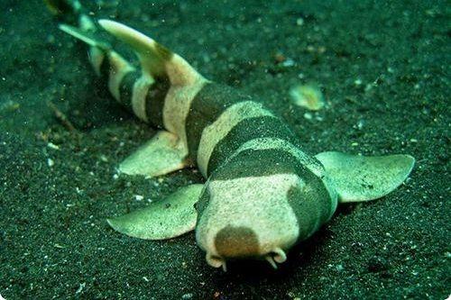 Gambar hiu Burmese Bamboo Shark