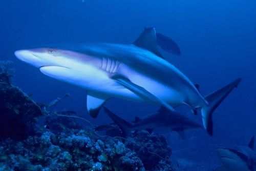 Gambar hiu Gray Reef Shark