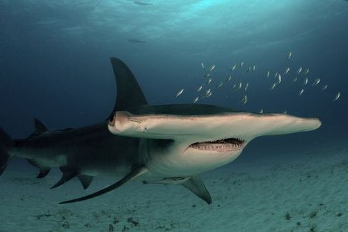 Gambar hiu Great Hammerhead Shark