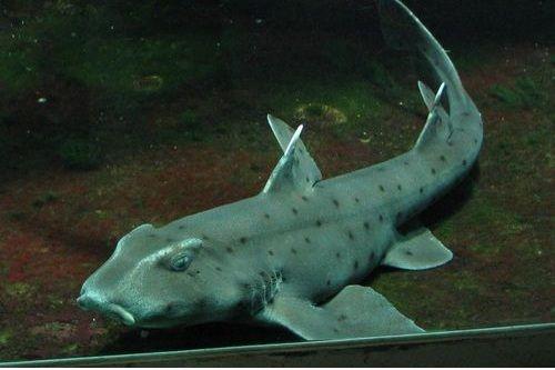 Gambar hiu Horn Shark