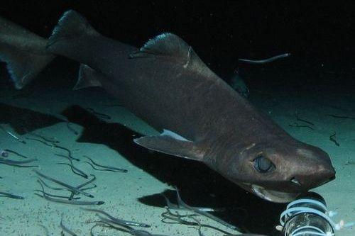 Gambar hiu Leafscale Gulper Shark