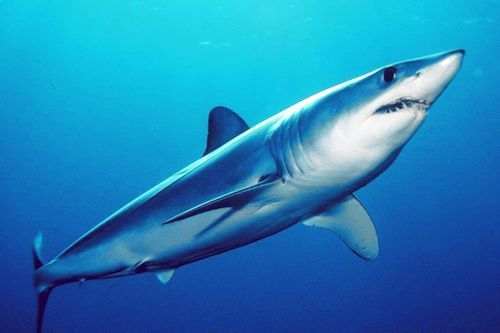 Gambar hiu Mako Shark
