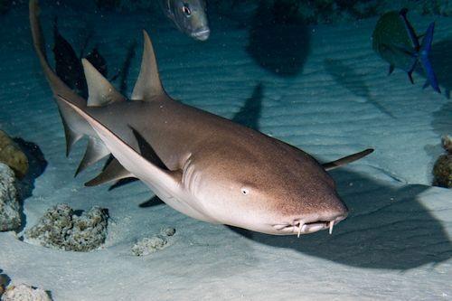 Gambar hiu Nurse Shark