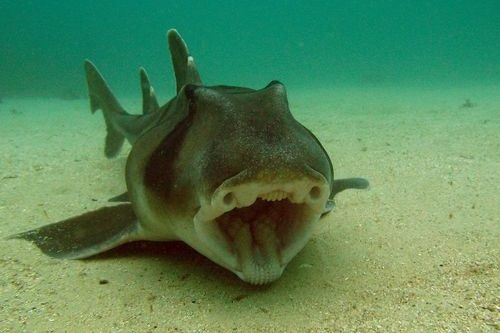 Gambar hiu Port Jackson Shark