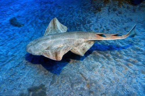 Gambar hiu Sawback Angelshark