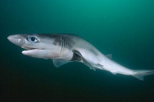 Gambar hiu Sharpnose Sevengill Shark