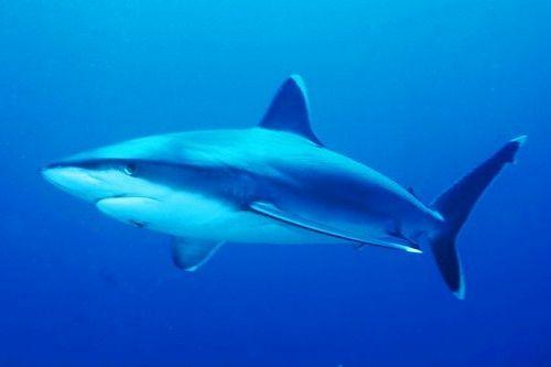 Gambar hiu Silvertip Shark
