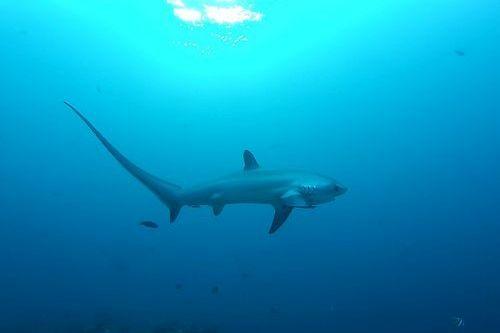 Gambar hiu Thresher Shark