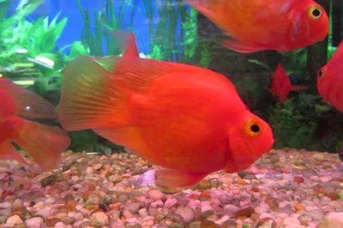 Gambar ikan Red Parrot