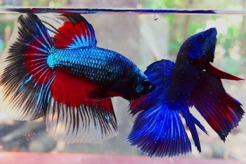 Gambar ikan cupang bertarung
