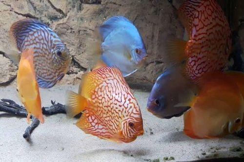 Gambar ikan discus makan