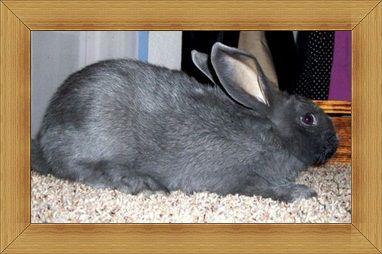 kelinci American Rabbit