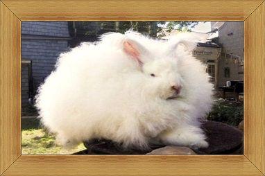 kelinci Angora Rabbit