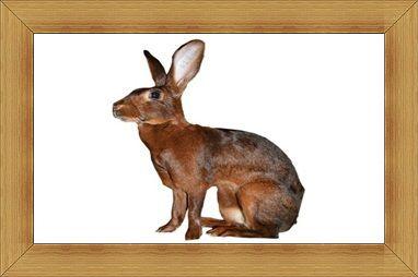 Gambar kelinci Belgian Hare
